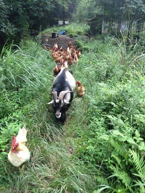 トカラ山羊ブンタと鶏たち